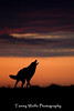 Howling Coyote*