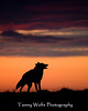 Howling Coyote Sunrise Silhouette* (#7701)