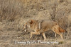 Coyote with Prey (Prairie Dog)*
