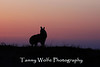 Howling Coyote Silhouette at Sunrise*