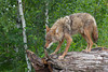 Coyote (Canis latrans)*