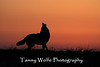 Howling Coyote at Sunrise*