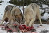 Gray Wolves (Canis Lupus) on Carcass*
