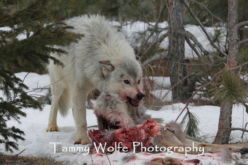 Gray Wolf (Canis Lupus)*