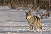 Gray Wolf Running* (Photo #8201)