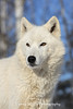 White Wolf*  (This is actually a captive arctic wolf)