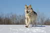 Gray Wolf Running in the Snow* (Photo #7529)
