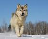 Gray Wolf Running*