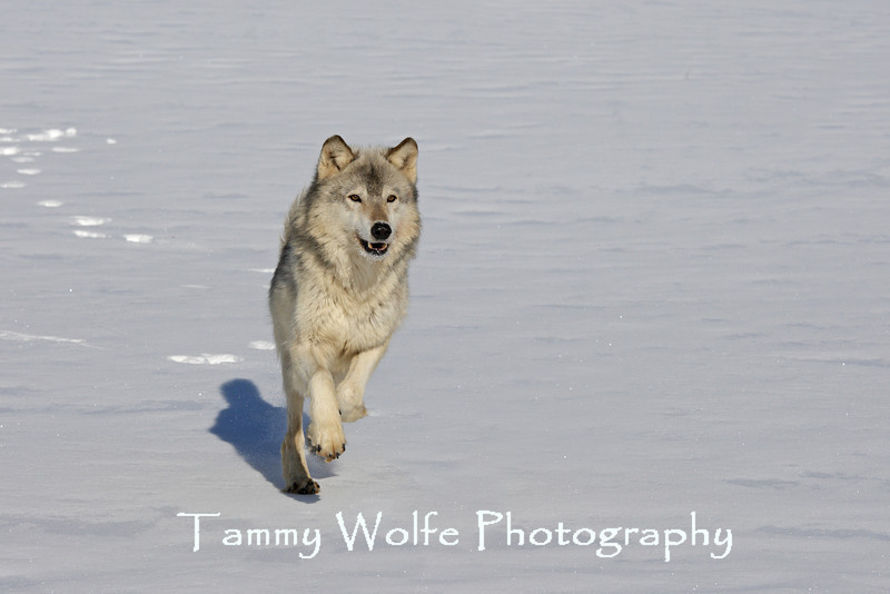 Gray Wolf Running in the Snow*