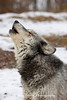 Gray Wolf Howling* (#7851)