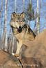 Gray Wolf*