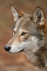 Red Wolf (Canis rufus)*
