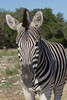 Damara Zebra (Equus burchelli antiquorum)*