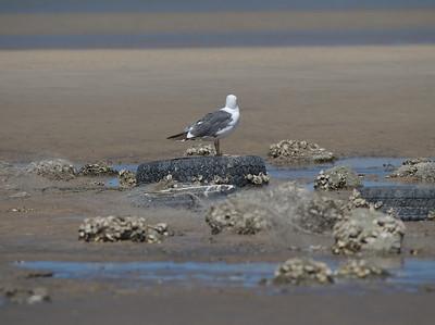 Here is a sea gull.