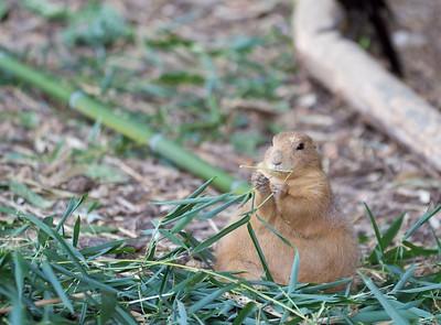 St. Louis Zoo, St. Louis, MO   Prairie Dog