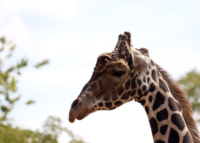 St. Louis Zoo, St. Louis, MO Giraffe
