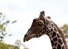 St. Louis Zoo, St. Louis, MO<br /> Giraffe