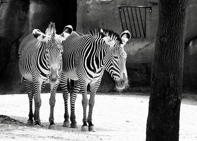 St. Louis Zoo, St. Louis, MO   Zebra