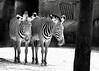 St. Louis Zoo, St. Louis, MO  <br /> Zebra