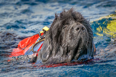 Newfoundland dog in the Atlantic Ocean