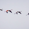 Flamingos in Camargue, France