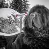 Newfoundland dog in St. Bernard habitat