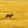 Coyote and shades of yellow