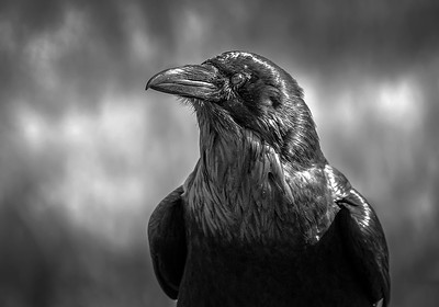 Raven in Yellowstone