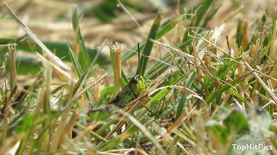 A Grasshopper in Vetan in the Aosta Valley, Italy