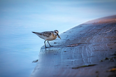 Lake Ontario Shore Bird