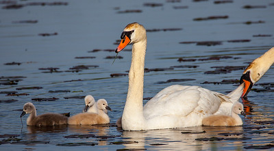 Adult Pen with her Cygnets
