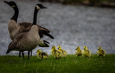 Spring Time Goose Population on the Rise
