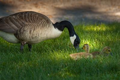 Goose & Goslins