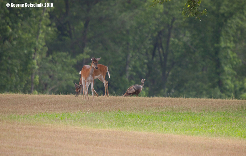 """Deer with look like """"what are you doing here?"""""""