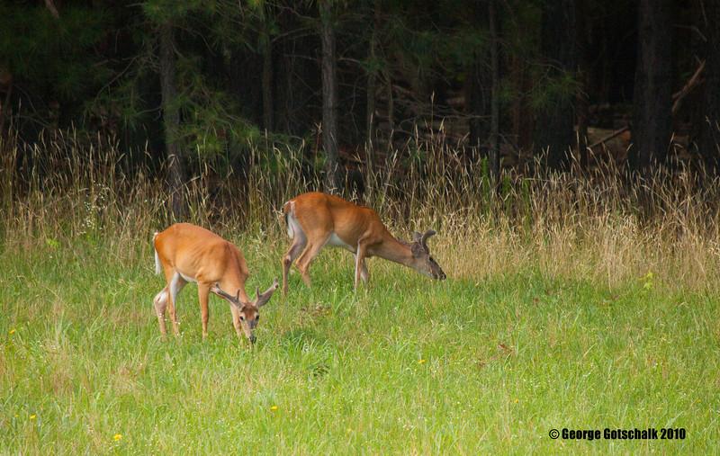 Bucks in Velvet together