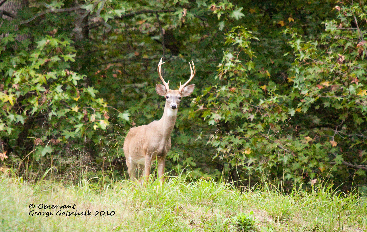 Observant Buck.  He was traveling with a bigger buck that totally ignored me and walked off.