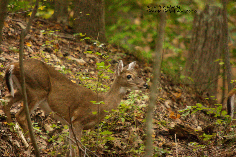 This Doe was in the woods.