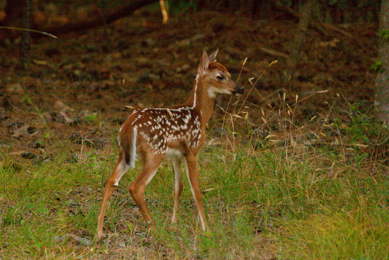 Young fawn early July