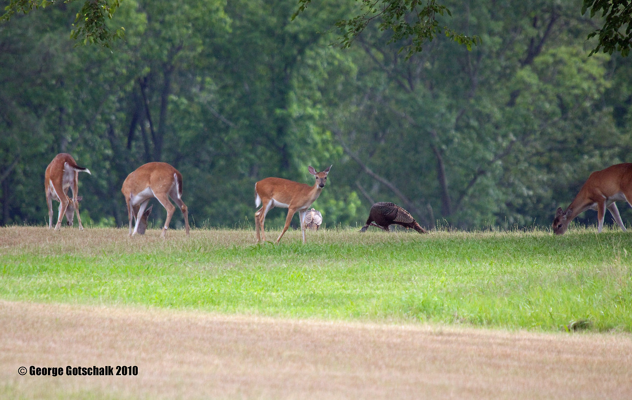 A gathering with Turkey and Deer