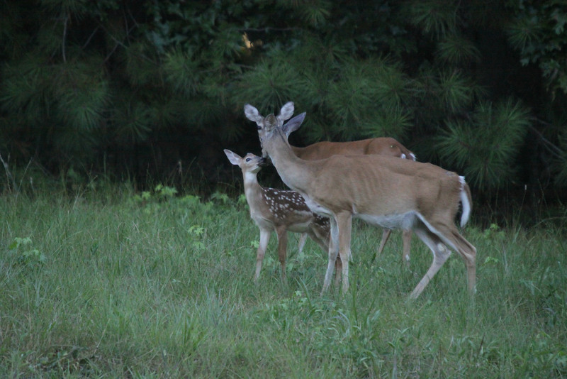 Fawn and attentive mother