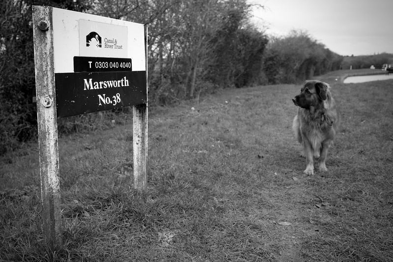 Estrela Mountain Dog Trying To Read A Signpost