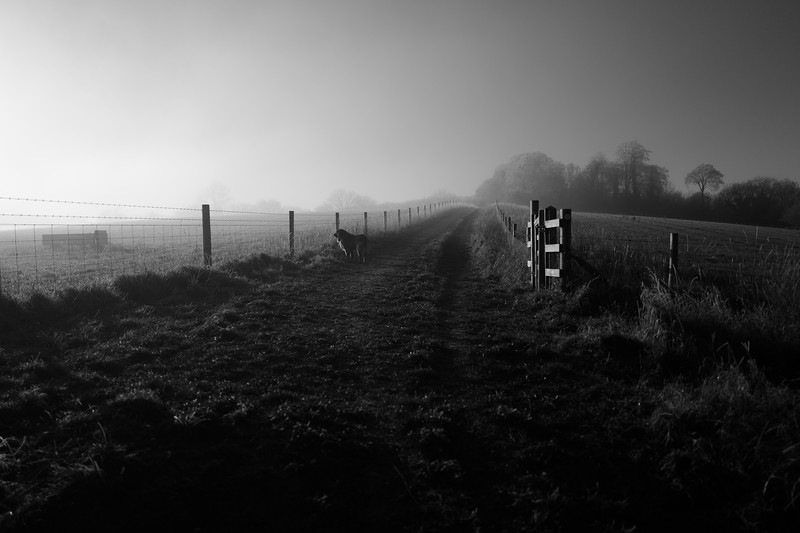 Estrela Mountain Dog On A Misty Morning Walk