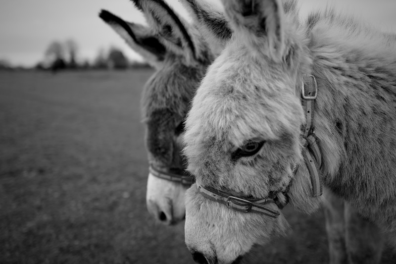 Two Friendly Donkeys