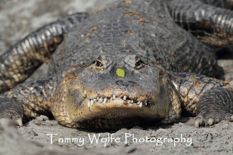 American alligator (Alligator mississippiensis)*