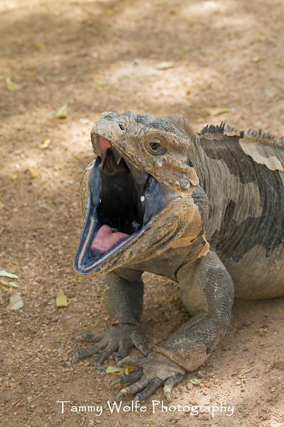 Rhinoceros Iguana (Cyclura cornuta cornuta)