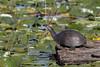 Blanding's turtle (Emys blandingii or Emydoidea blandingii), Crex Meadows