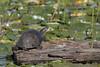 Blanding's turtle (Emys blandingii or Emydoidea blandingii)
