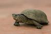Sonoran Mud Turtle (Kinosternon sonoriense)
