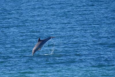 Dolphin entering
