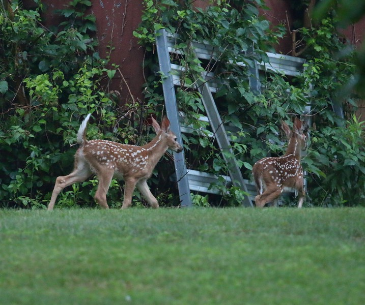 Fawns in my backyard
